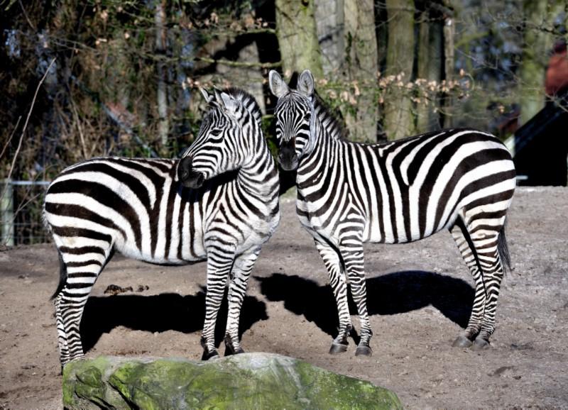 Bild zebra wohnzimmer home design inspiration und m bel for Tisch design castrop rauxel