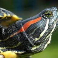 Präriehundkolonie-kleines-Bild-Mitte-Rotwangenschmuckschildkröte