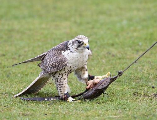 Greifvogelvorführungen im Tierpark – neuer Termin ist der 1. Sonntag im April