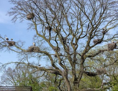 Der Frühling kommt – der erste Wildstorch im Tierpark ist zurück!