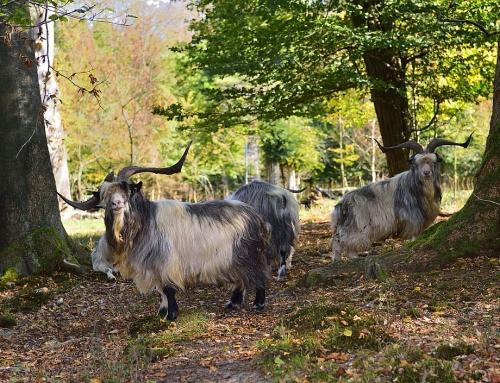 Noch einmal mit den Naturschutzrangern durch den Hutewald Bentheim und den Wacholderhain Bardel