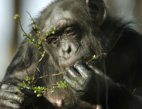 Schimpansen verlassen den Nordhorner Tierpark