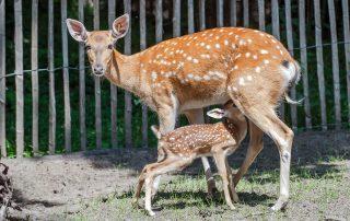 Tierpark Nordhorn Sika-Hirsche Nachwuchs