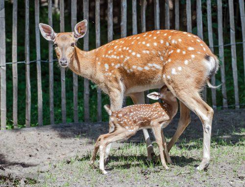 """Ein seltenes """"Bambi"""" im Tierpark Nordhorn geboren"""