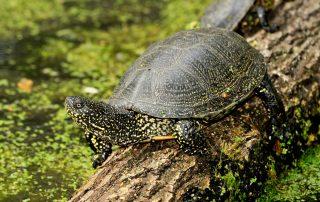 Tierpark Nordhorn - Einzug der Europäischen Supfschildkröte