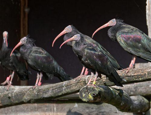 Waldrappe im Tierpark Nordhorn nun Teil des Europäischen Erhaltungszuchtprogrammes
