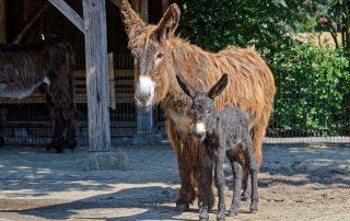 Poitou Eselfohlen im Tierpark Nordhorn geboren.