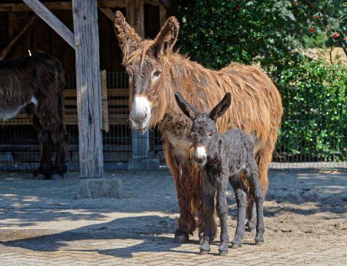 Zuwachs bei den Poitou-Eseln im Tierpark Nordhorn