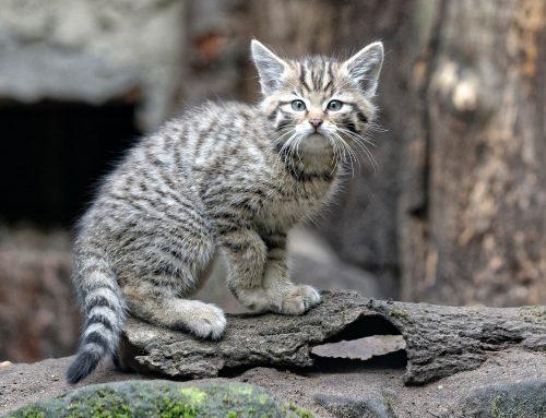 Dreifacher Wildkatzennachwuchs im Tierpark Nordhorn