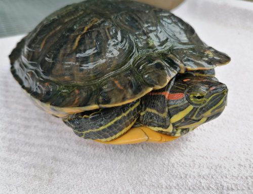 Drei Wasserschildkröten suchen ihre Besitzer