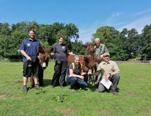 "Poitoueselfohlen ""Kacie"" verlässt den Tierpark Nordhorn"