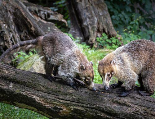 Neuzugänge bei den Weißrüsselnasenbären im Tierpark Nordhorn