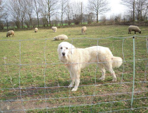 Vortrag: Herdenschutz in Schafhaltungsbetrieben – Fördermöglichkeiten, Zaunbaumaßnahmen, Einsatz von Herdenschutzhunden